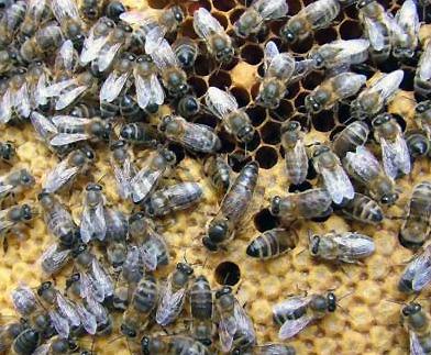 пчёлы на соте.jpg