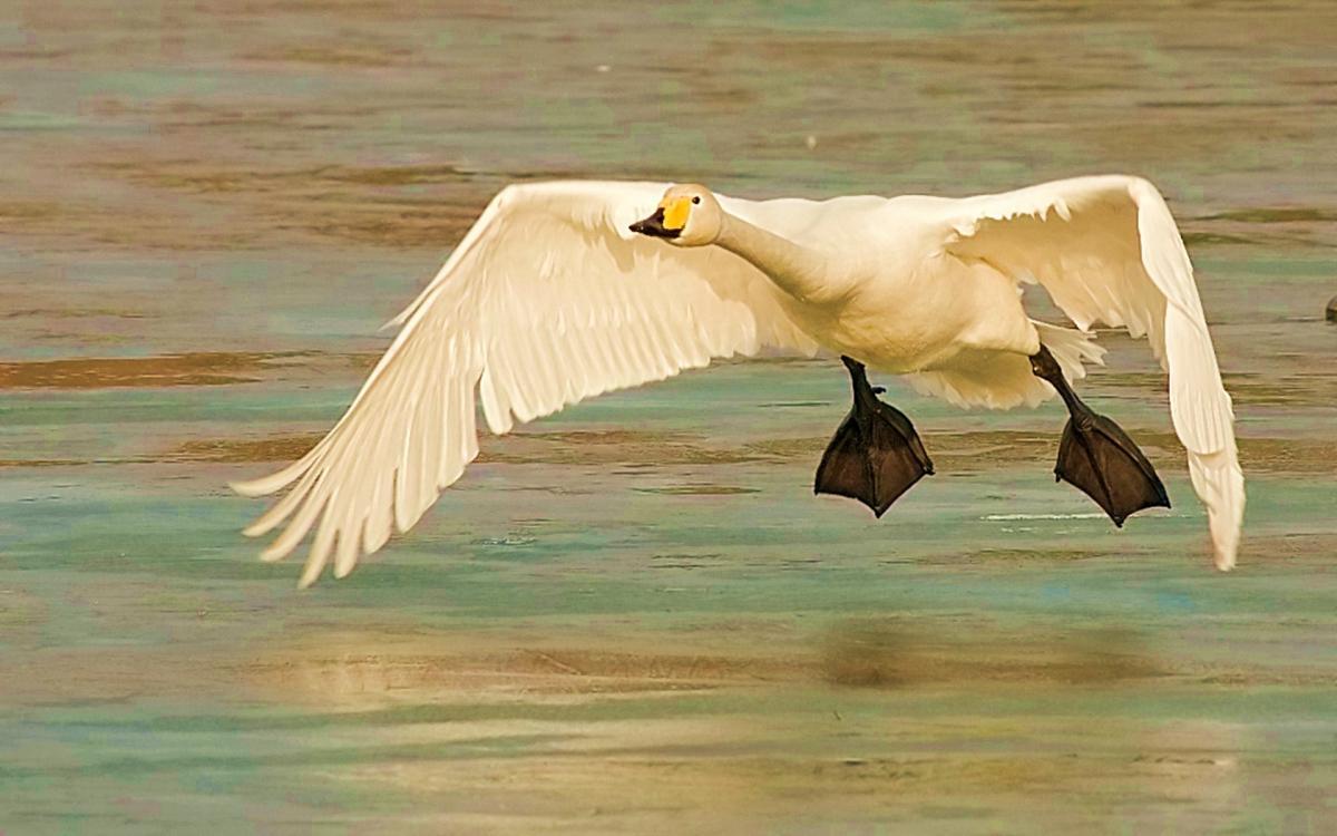 лебедь кликун.jpg