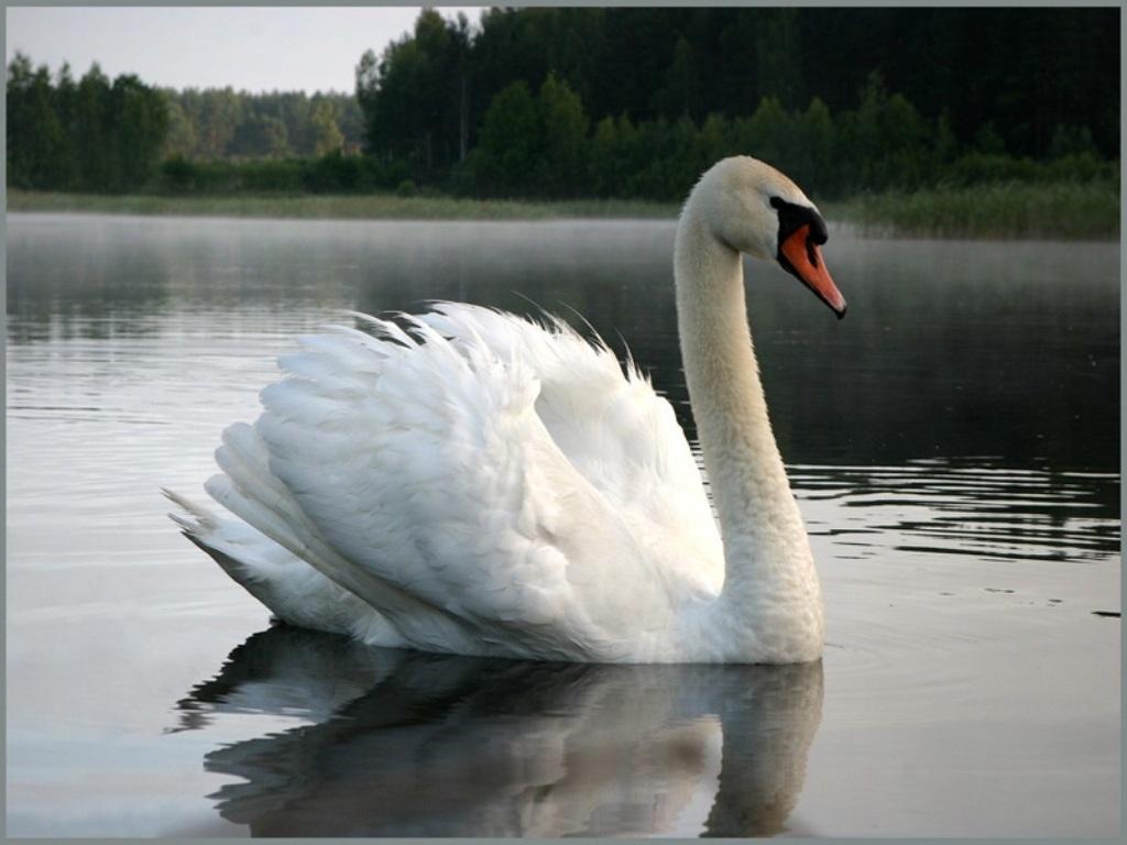 лебедь шипун.jpg